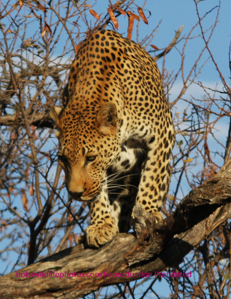 """""""A"""" Leopard getting ready to leap?"""