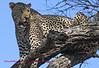 """""""S"""" Leopard in tree"""