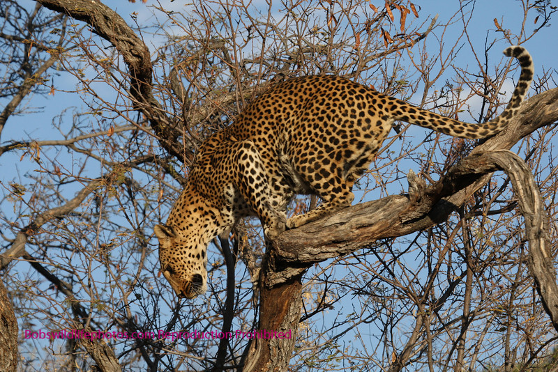 """""""A"""" next frame This leopard was airborne and I missed it"""