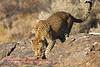 """""""A"""" Leopard crossing rocks"""