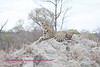 Leopard on termite mound.