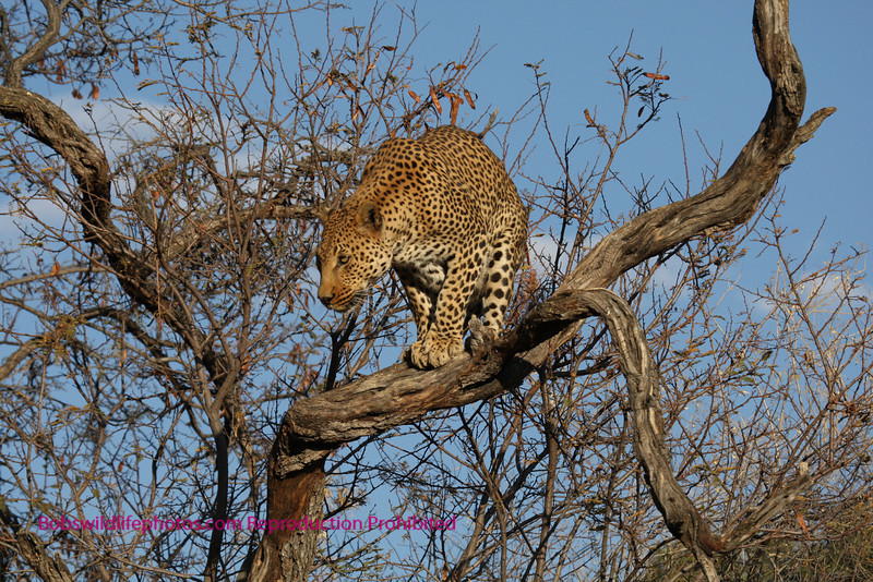 """""""A"""" Leopard in tree pulled out"""