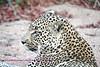 Same Leopard a little closer