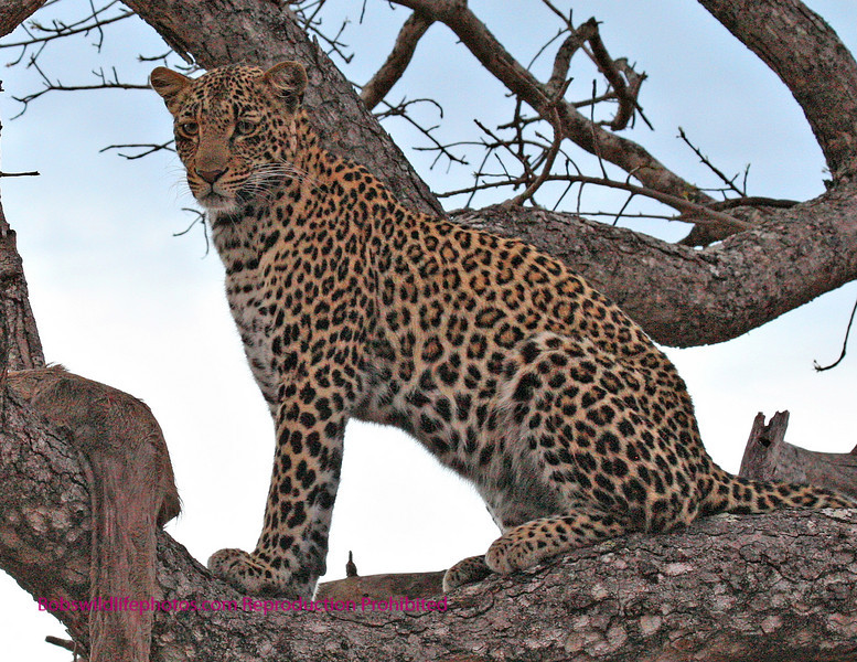 Leopard with impala and blue sky