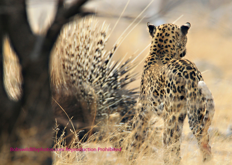 This photo of a young leopard and a porcupine was a once in a lifetime interaction. The cat chased the porcupine out of a hole and then lifted a paw touched the quills and called the whole thig off. They then went their seperate ways. This sighting took place at the Goas waterhole in Etosha Park Namibia.