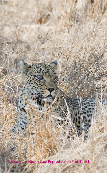 Safari an older leopard in Sabi Sands South Africa