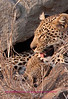 """K"" Leopard cub nursing. This photo was taken bear lower sabi camp in kruger."