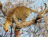 """A"" Leopard getting ready to leap from tree"