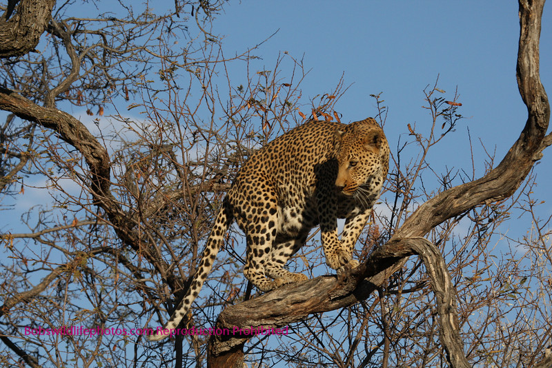 """""""A"""" Not sure what this leopard is concerned with"""