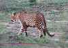 This is the only cat we saw in Kruger. It was near the Sabi River about a mile from Lower Sabi rest camp. The shot is taken from about 300 yards through some brush. This is a large cat - wish we could have gotten closer. One of the differences between Kruger and the private preserves is that in Kruger you must stay on the road and in the private preserves, they will take you off road.