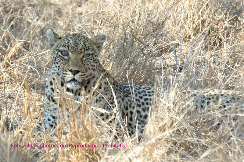 Safari the Leopard. We've seen her on all of our trips to Sabi
