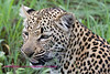 Young leopard taken in Nkorho - note they do have teeth.