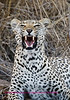 """""""S"""" Leopard showing his teeth"""