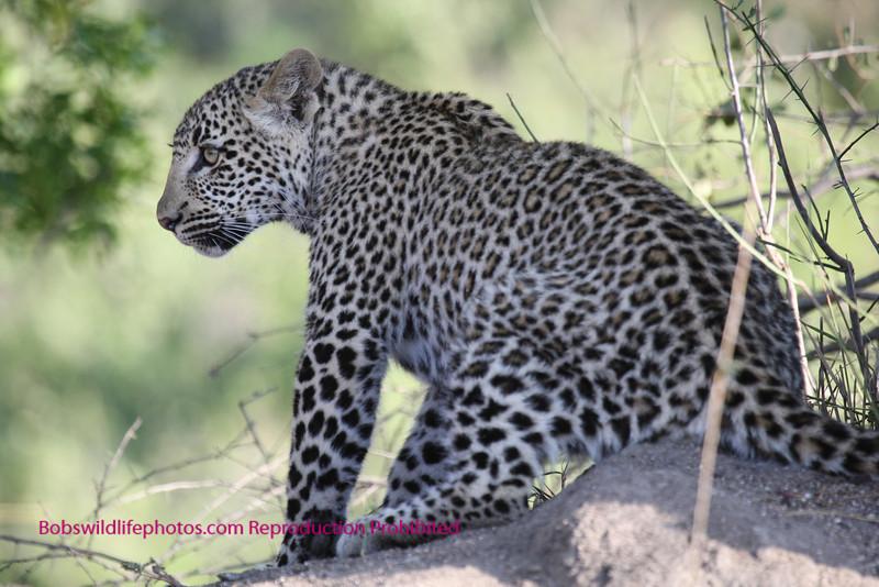 """S"" Leopard cub"
