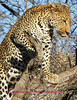 """""""A"""" leopard climbs tree"""