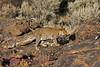 """""""A"""" Leopard crossing rocks on far side of ravene"""
