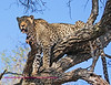 Well we've finally got on to another cat. This is a large Male who is named Mafufunyanna he use to be the dominent male of the entire region of over 10,000 acres. More recently a younger cat named Tyson has taken over most of his range. Mafufunyanna is 13 years old and his weight is about 165 pounds. This is a very large cat. Later in this trip we saw him chased up a tree by a pride of lions. He was lucky that they had just eaten lunch. An elephant!!! The Ellie had died of constipation. The females were too full to go up or he might not have survived the encounter.