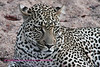 Leopard lying in sand of dried out stream