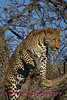 """A"" Beautiful leopard climbs out on limb"
