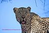 """S"" Leopard"
