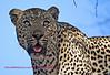 """S"" He is a good looking male leopard"
