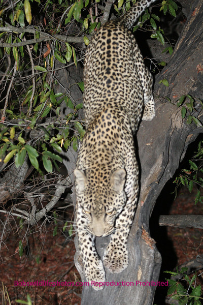 The trunk of this tree was at about a 30 degree angle. This leopard has an impala in the tree.