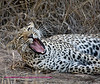 """S"" Leopard yawning on the side"