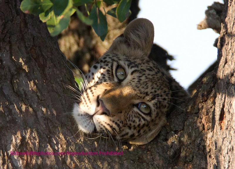 Same Leopard same tree.