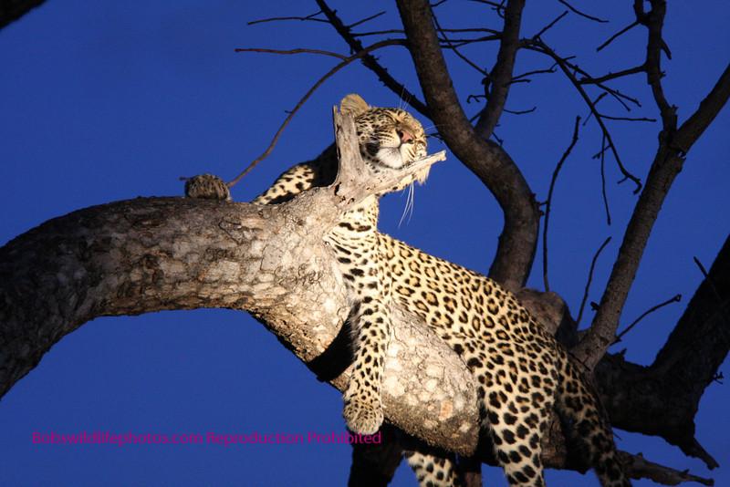 """S"" Leopard takes nap"
