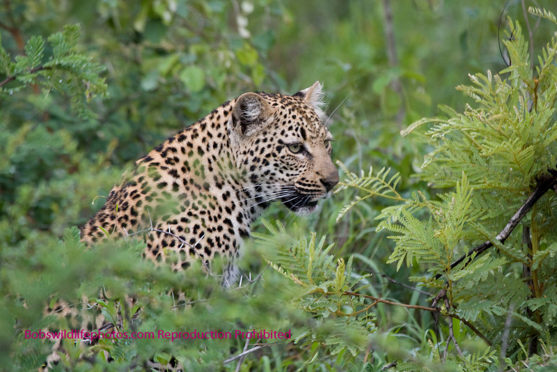 Leopard moving quietly through the bush