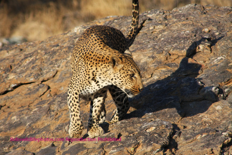 """""""A"""" Leopard turning notice how sleak the fur is."""