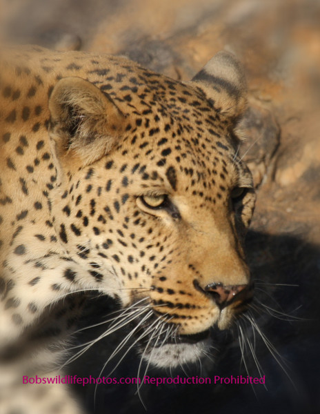 """A"" This leopard was photographed at Amani. The photo has been cropped and blur added."