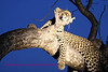 """S"" leopard in tree as night sets different view"