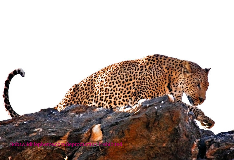 """A"" This is the first photo in this Gallery taken in Namibia. These photos were taken at the Amani lodge, and was in fact the only leopard that we saw in Namibia. The folks at Amani do everything possible to support the taking of shots like this."