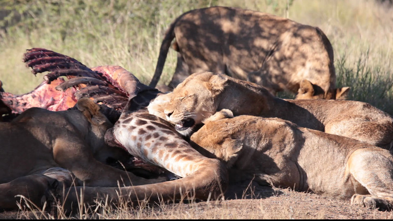 This video was taken in Kruger near Balule. There were a number of Females and young males, but we didn't see any large males. The photos at the end of this section were taken over a two day period.