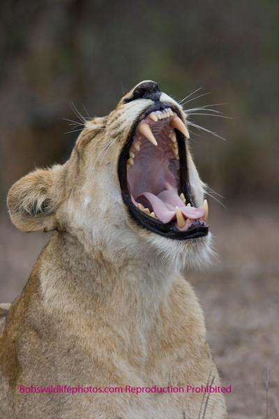 Female lion yawning - notice the K9 teeth