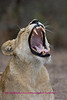 Female lion yawning - notice the K9 teeth