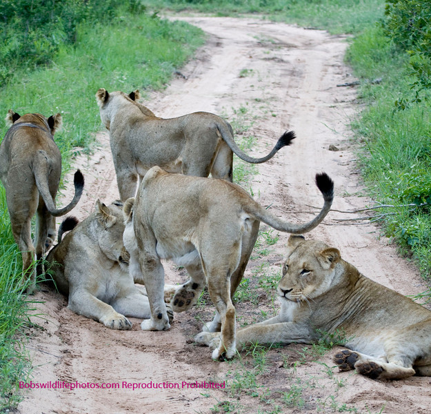 This will cause you to hit the brakes. These are the 5 females in an all female pride in the Sabi Sands reserve. We were told there is a sixth who they believe is off by herself giving birth.