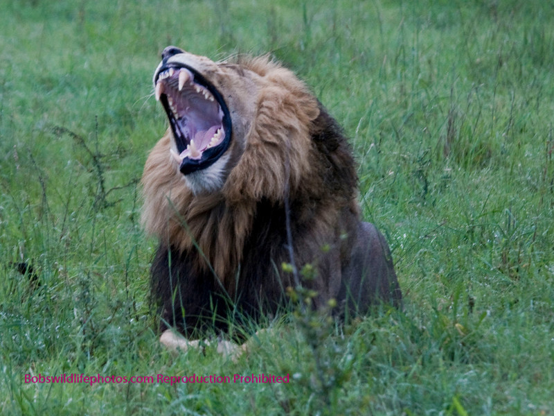 """Taken in the Nkorho game preserve, this male is one of a pride of 5 males which prey on everything, including attacking other lions who roam into their territory. Sherry and I refer to them as """"The Bad Boys of Nkorho"""". By the way, he is only yawning - at least that's what we told ourselves, as we are only about 50 feet away."""