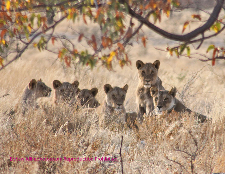 This is the better part of a pride of 7 lions in Etosha near Halali. They were quite a ways off the road, but the ears and heads peaking through the grass is neat.