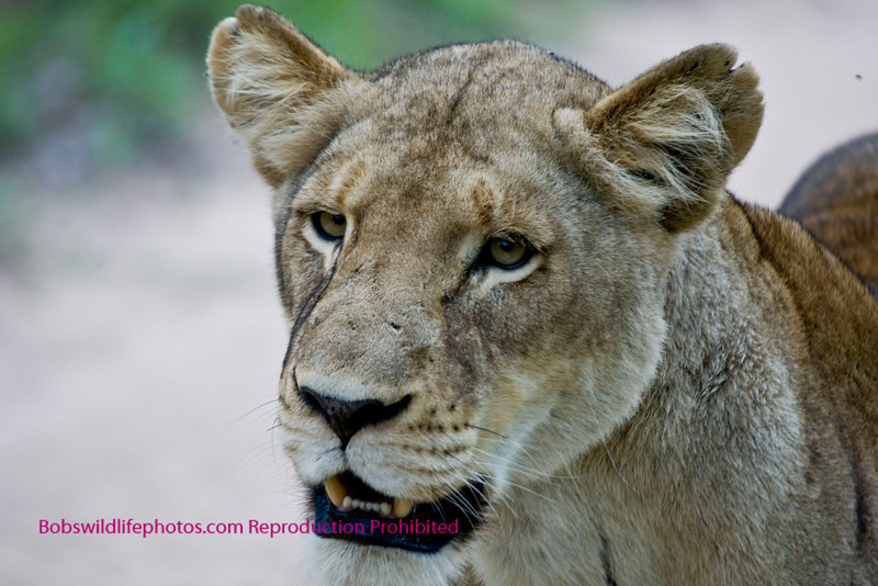 This female part of the female pride in Sabi Sands reserve. Walked toward our vehicle in the middle of the road.