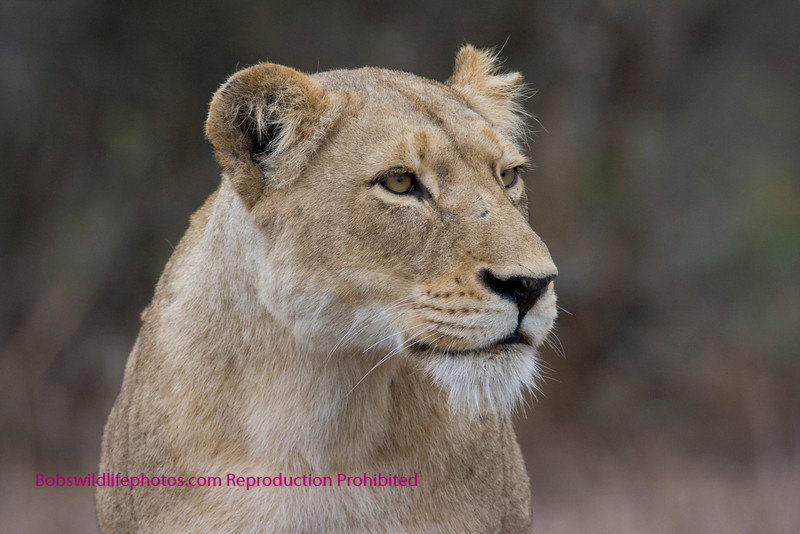 This female was one of two taking care of 4 cubs near Satara in the Kruger Park.
