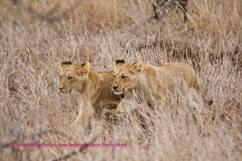 These two cubs were all alone for the 45 minutes that we photographed them. Location was between Lower Sabie and Satara.