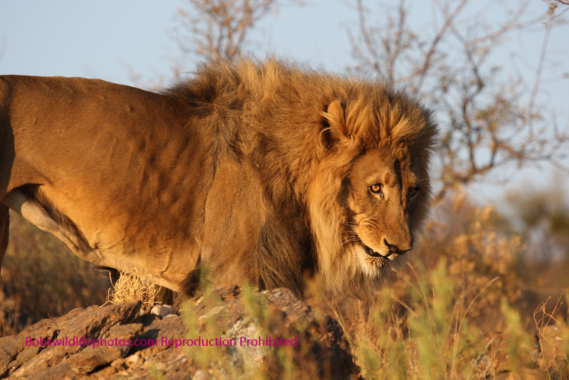 """A"" This photo was taken at the Amani lodge in Namibia. This large male lion was perfectly posed."