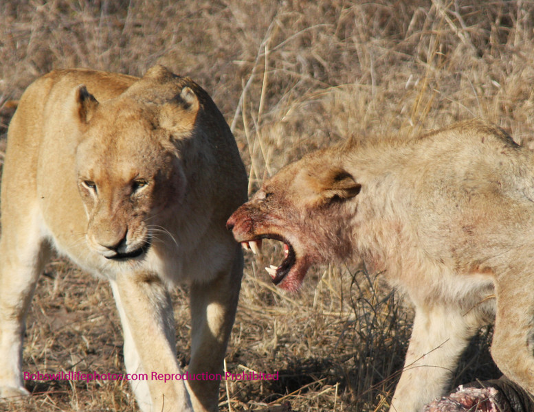 Young male lion on elephant remains. Dosen't look like the young male wants to share.