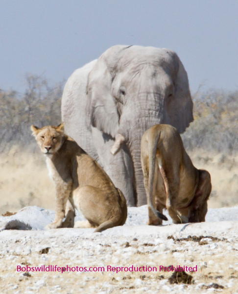 This and the following two photos were taken at the Nebrowni water hole in Etosha park Namibia. The Lions were speinding the afternoons undre the road making for some good photos.