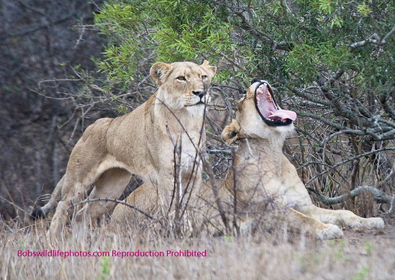 These two females are getting up after a nap. The standing lion is observing some impala near Satara