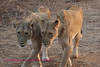 Two female lions - looks like they are doing a dance step