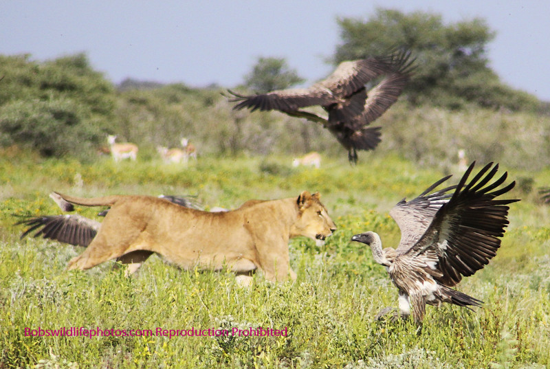Even a lion needs to protect it's food from scavengers.
