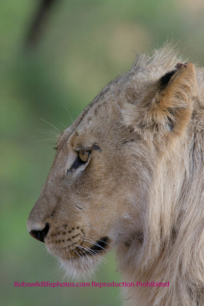 Young male (part of a group of 4) - the others being female who made a kill on an impala on the banks of the Lower Sabie River near Skukuza.